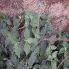 Prickly Chaff Flower