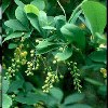 Indian Barberry