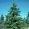 Deodar Cedar